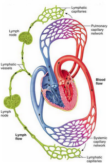 Lymph and heart